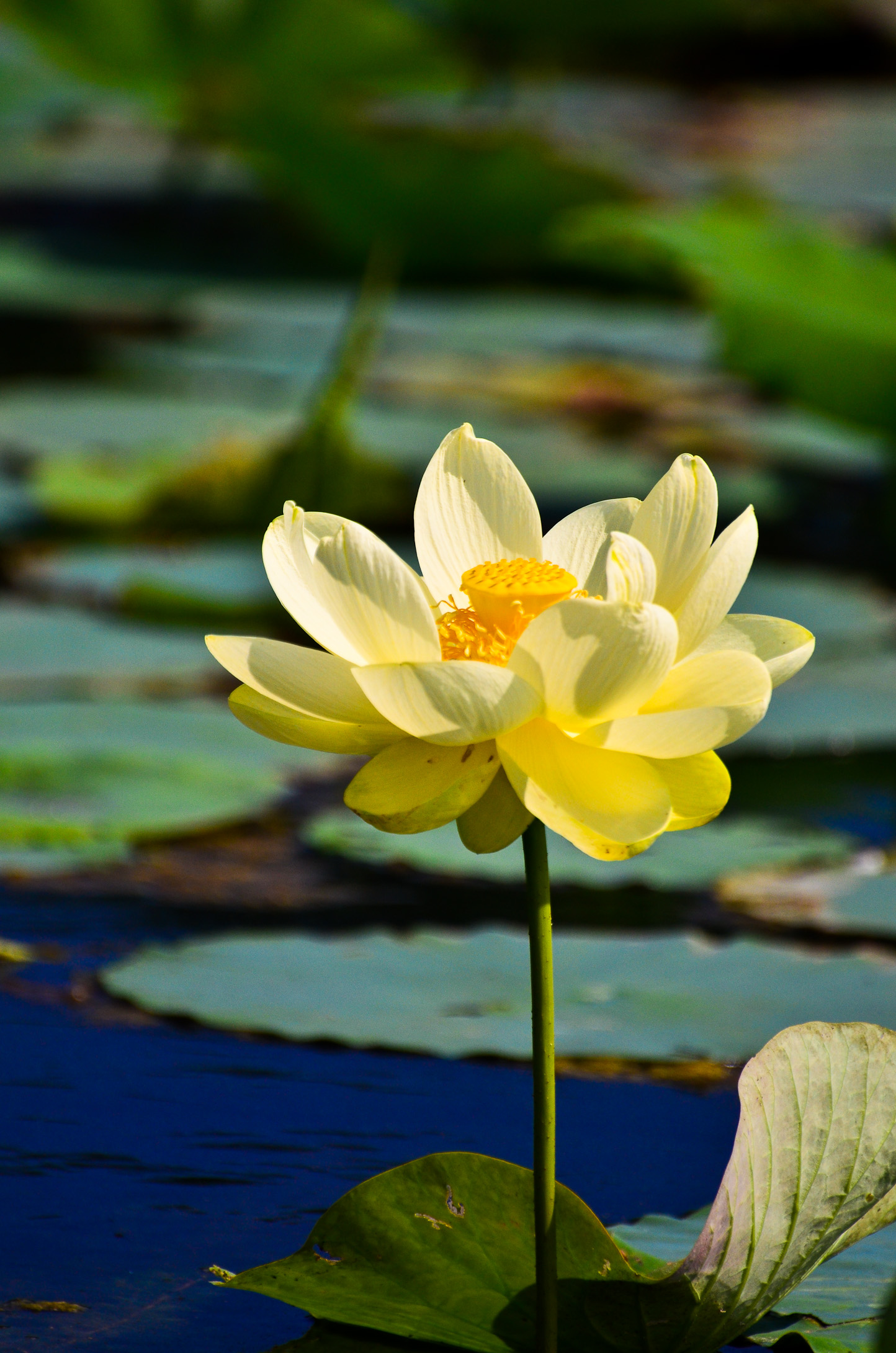Lotus Flower And Water Everyday Nature Scenes