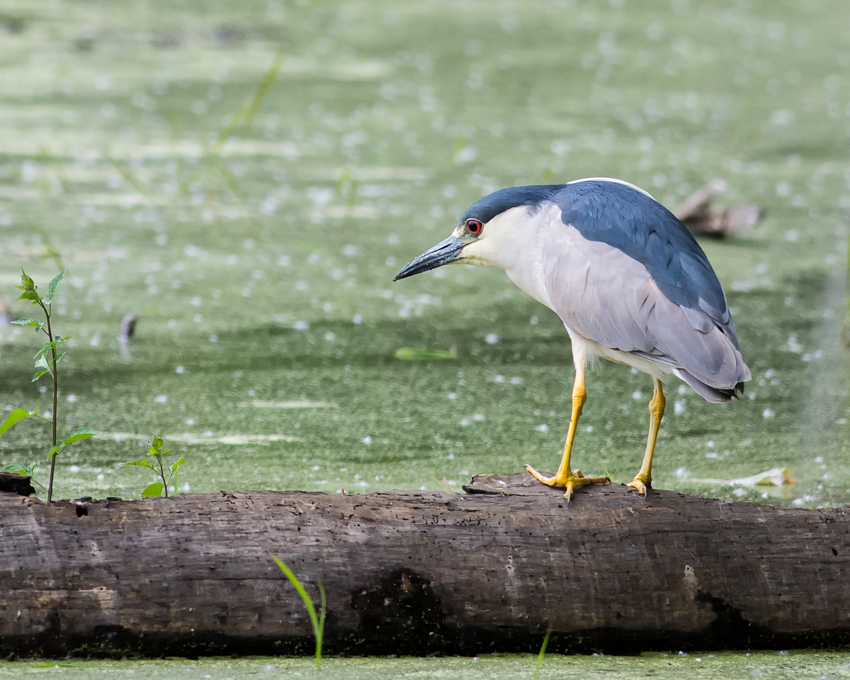 Night Heron 2