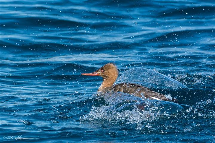 Merganser Red 1