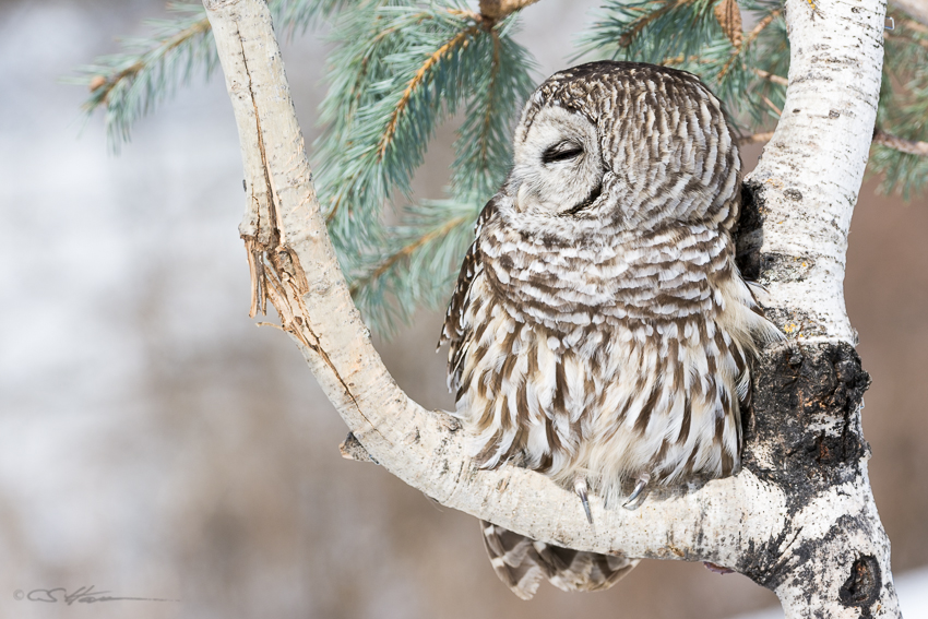 Barred Owl 2