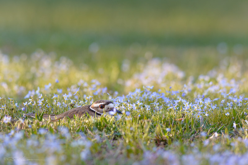 Killdeer 5-1-13
