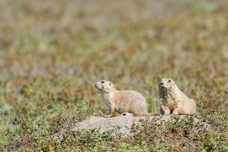 Prarie Dogs-1 8-29-14