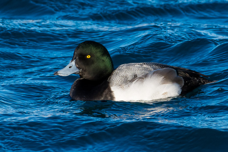 Scaup-1 2-23-14